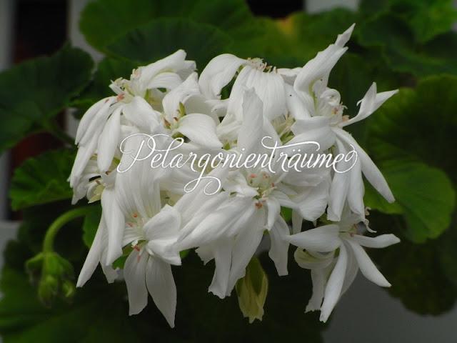 Kaktuspelargonie-weiss-reinweiss