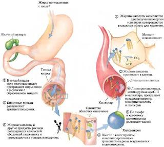 превращение жировой ткани в энергию