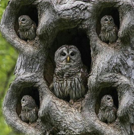Burung hantu bersarang di lubang lubang pohon