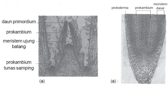 Meristem (a) ujung batang dan (b) ujung akar