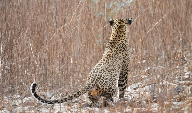A healthy male spotted leopard has just spotted its prey at Tadoba Tiger Reserve, India
