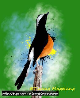 Suara Burung Murai Batu Raja Mahkota