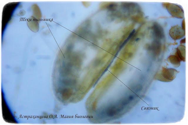 пыльник-кислицы-под-микроскопом