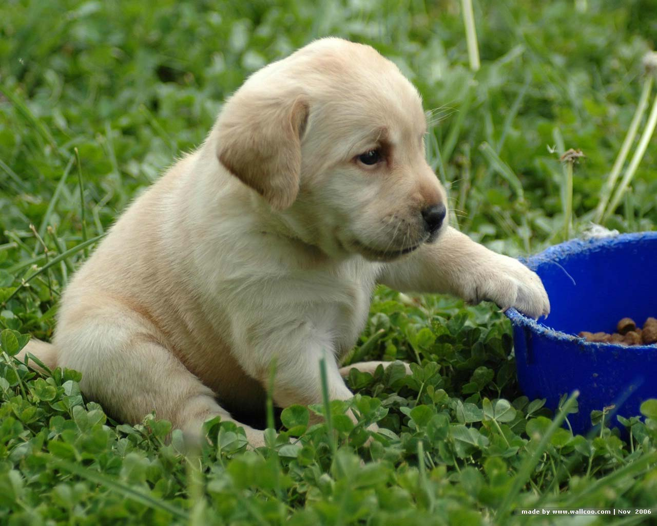 yellow lab dog - photo #31