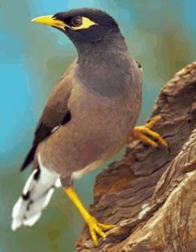 Jenis Jalak Yang Bisa Bicara : jenis, jalak, bicara, Dunia, Burung:, Jenis, Burung, Jalak, Meniru, Kata-Kata, Manusia