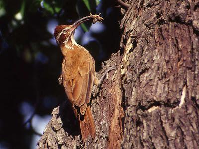 Scimitar billed Woodcreeper