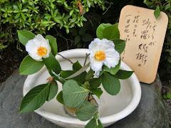 鎌倉のナツツバキ