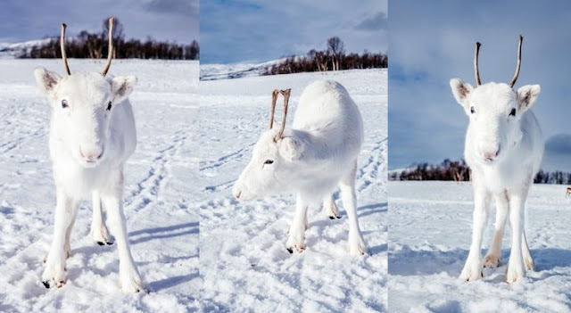 Extremely rare white baby reindeer almost disappears into the snowy background