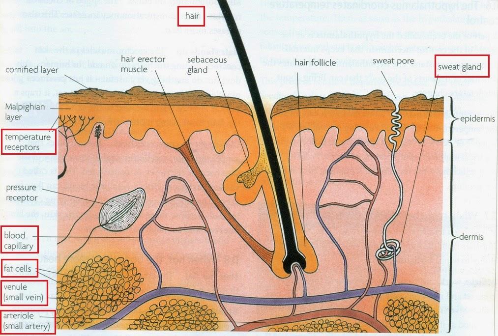 #101 Homeostasis | Biology Notes for IGCSE 2014