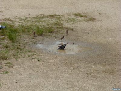 水浴びする椋鳥
