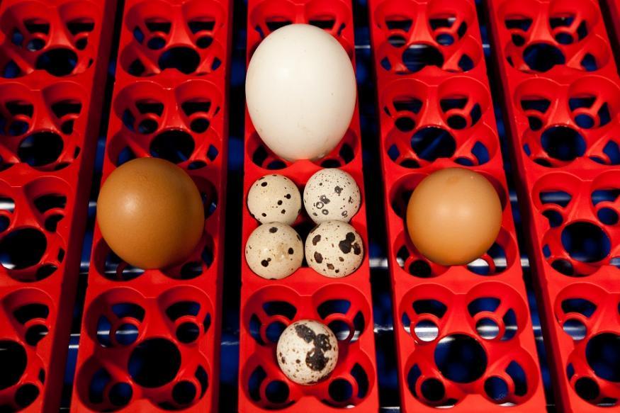 Uova appoggiate sul vassoio portauova dell'incubatrice