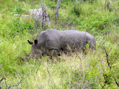rhino, South Africa, safari