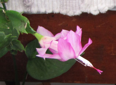 Easter Cactus full bloom