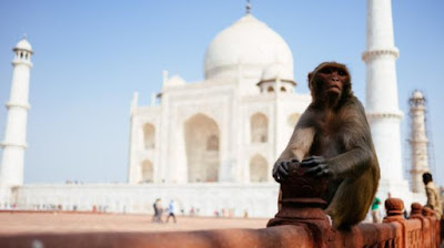 Monkeys invade India's iconic Taj Mahal, attack tourists