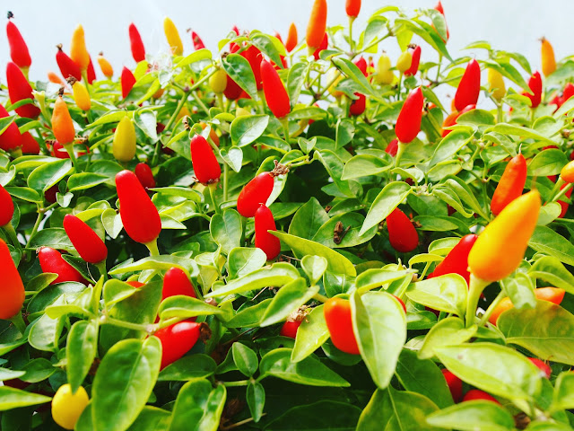 Touring the Edible Ornamentals Chilli Ranch with NIX&KIX