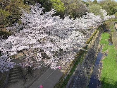 寝屋川公園 月観橋(つきみばし)の上からの眺めた桜並木
