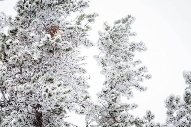 22 Breathtaking Images Of Things You've Never Seen Before - A mountain lion hiding in trees covered with snow