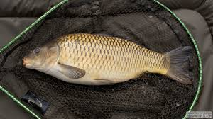 Benefits And Efficacy Of Carp Fish For Health