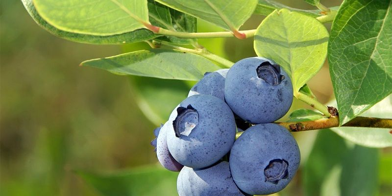 Gambar Nama Buah Dari Huruf B - Blueberry