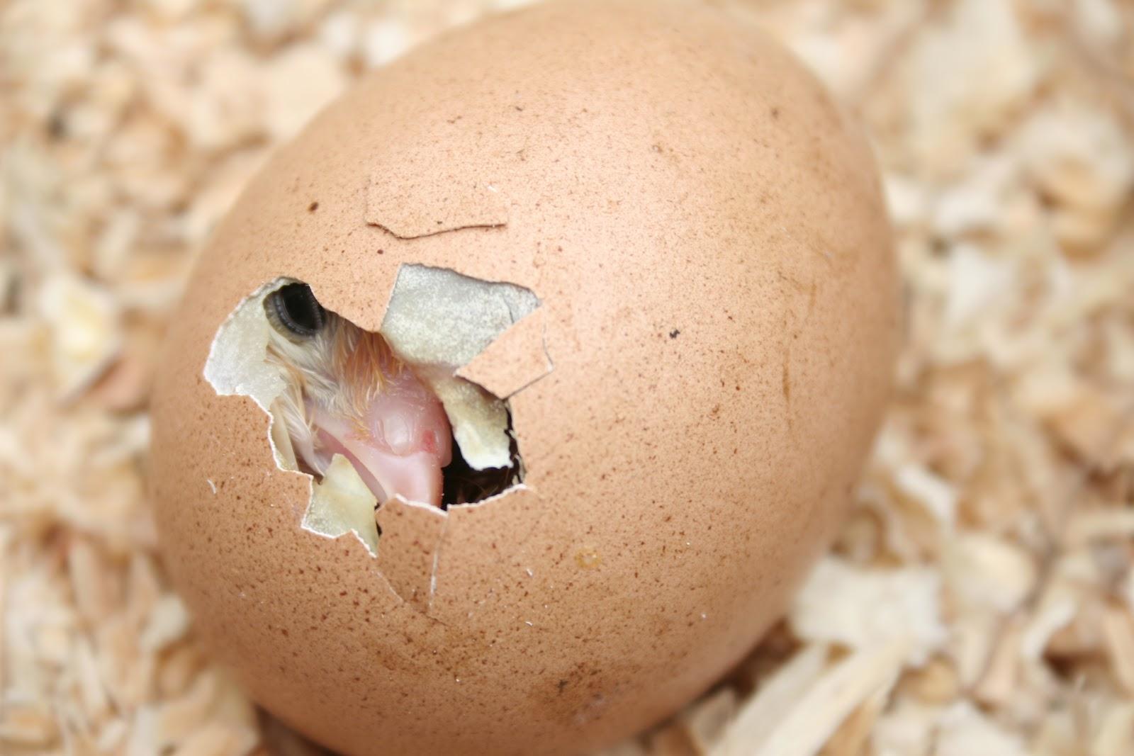 Kornerstone Farms Baby Chick