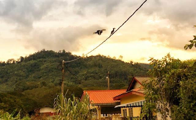 Oriental Pied Hornbill at backyard