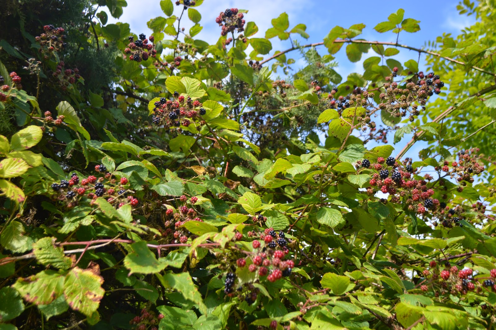 , Blackberry Picking, Crumble and Pie