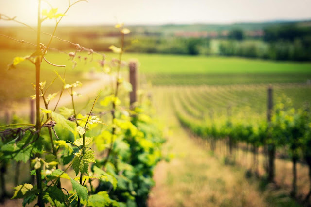 Vineyard landscape in early summer | Photo by Ales Me via Unsplash