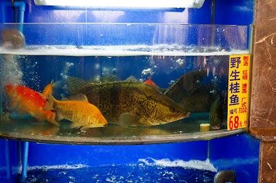 Ауха, китайский окунь, Mandarin Fish