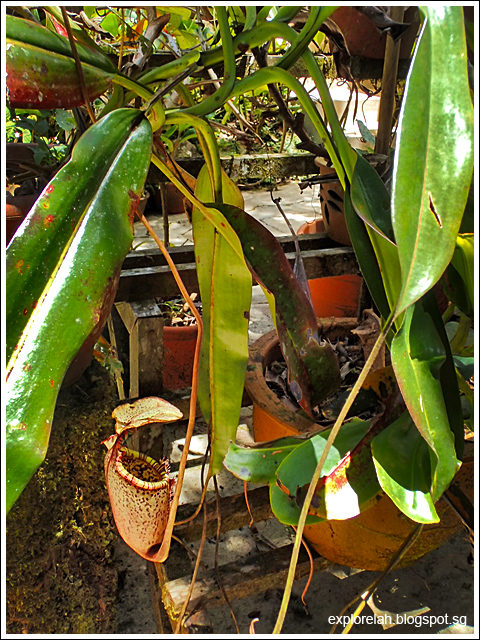 Nepenthes Rajah, Pitcher Plant, Kinabalu Park, Kota Kinabalu, Sabah, East Malaysia