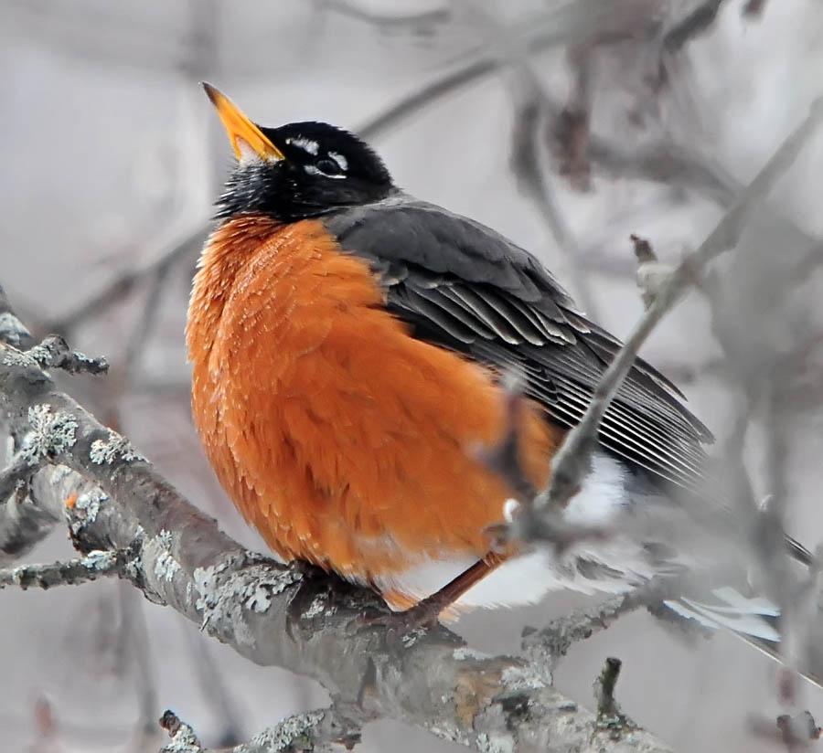 Birds: One Jackdaw Birding: Birds In Winter