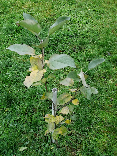 jak sadzić jabłoń