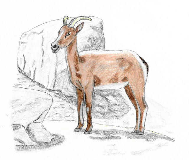 Colored pencil drawing Bighorn Sheep by Greg Gillson