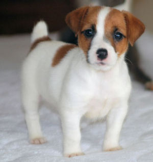 miniature jack russell terrier puppies for sale cute puppy dogs jack russell terrier puppies 717