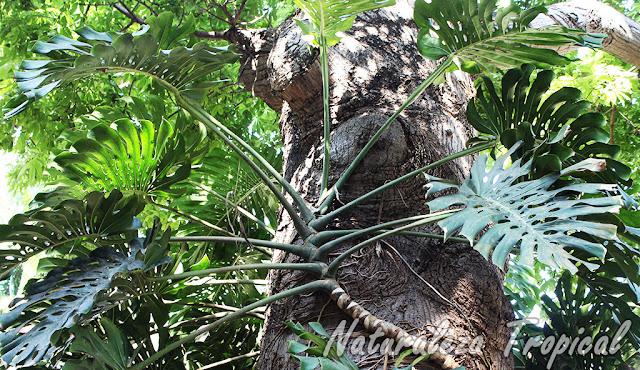 Monstera deliciosa creciendo sobre un árbol, Costilla de Adán