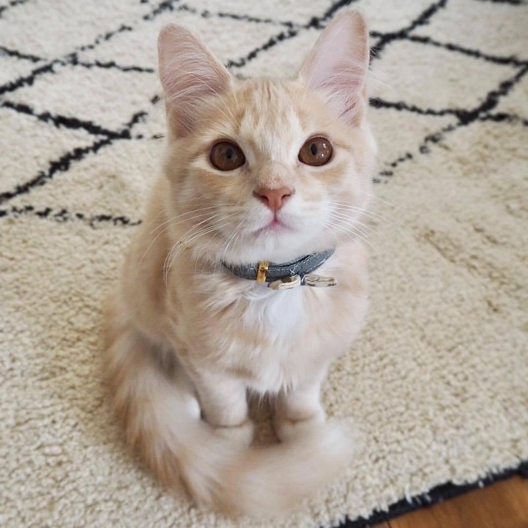 Seresto Flea Collar For Cats Near Me