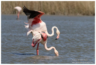 https://bioclicetphotos.blogspot.fr/search/label/Flamant%20rose%20-%20Phoenicopterus%20roseus