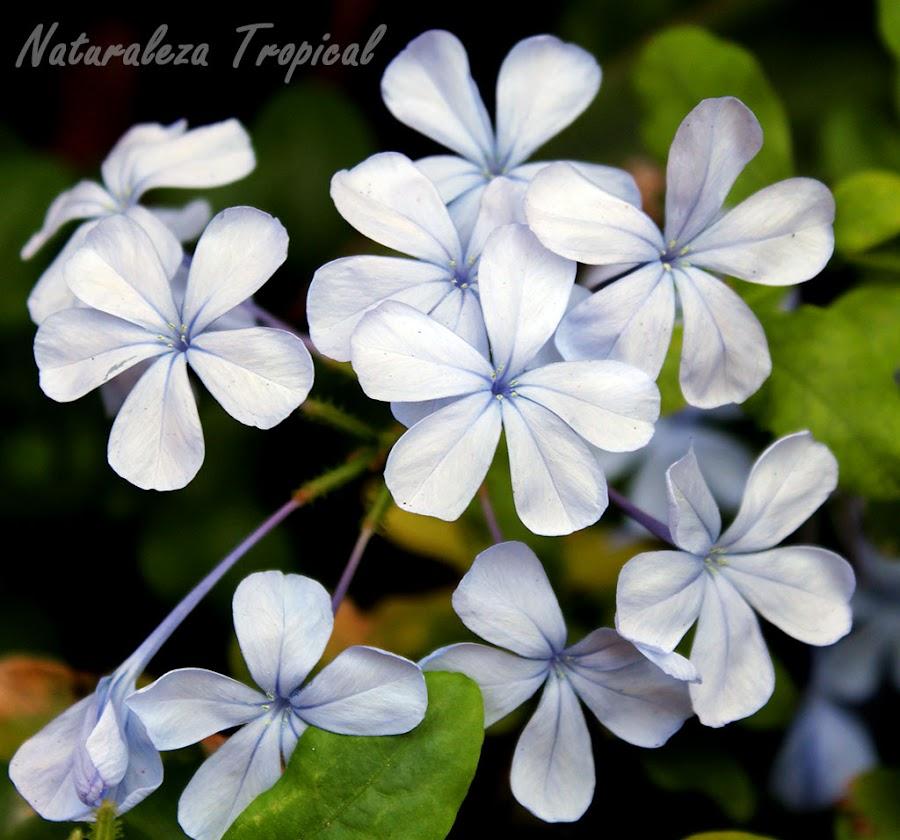 Flores características de la planta protocarnívora conocida popularmente como Celestina, Plumbago auriculata
