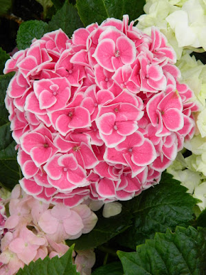 Florist's Hydrangea macrophylla at the Centennial Park Conservatory 2018 Easter Flower Show by garden muses-not another Toronto gardening blog