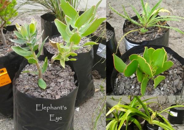 Leucospermum, Anchusa  Protea  Agapanthus