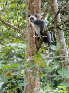 Grey Leaf Monkey