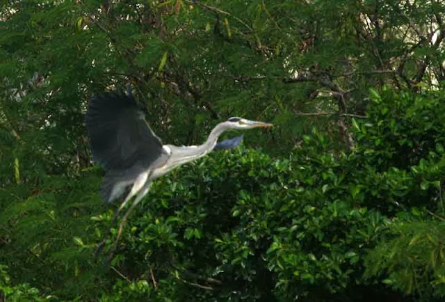bird, Grey Heron, flying, Okinawa