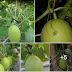 Melon #Hcscommando Purwakata usia 6 Minggu