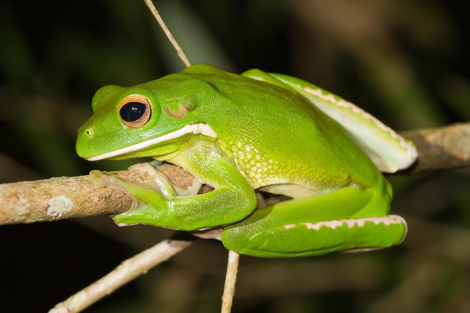 Amphibians: Litoria infrafrenata - Julatten