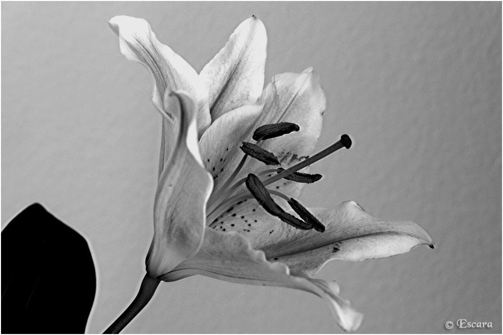 escara black and white lilie. Black Bedroom Furniture Sets. Home Design Ideas