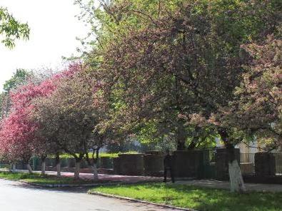 розовые каштаны в Ужгороде