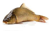 Üzgün bir sazan balığı