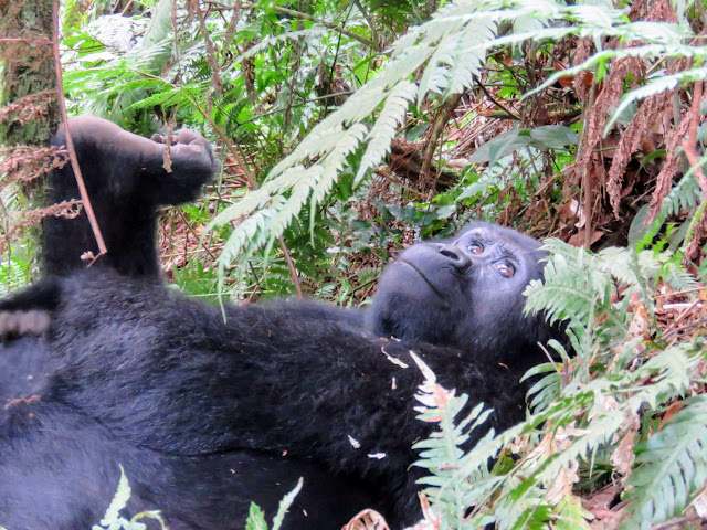 Black back gorilla of the Nkuringo family in the Bwindi Impenetrable Forest in Uganda