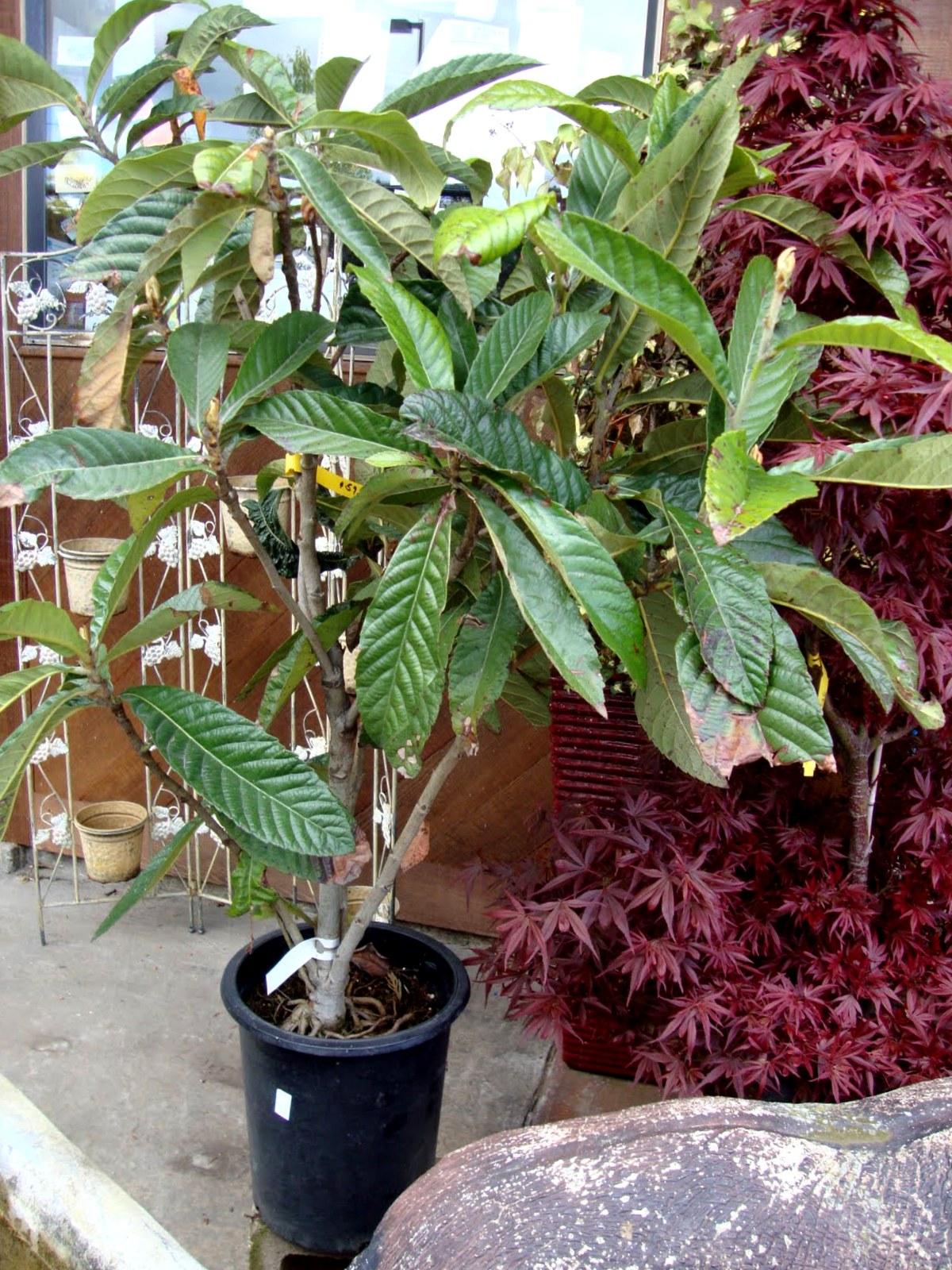 Garden Bush: Danger Garden: Eriobotrya Japonica; My Favorite Plant In