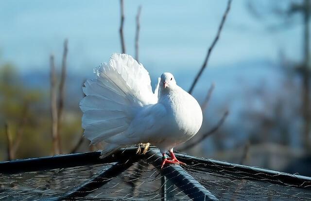 barış, umut, güvercin