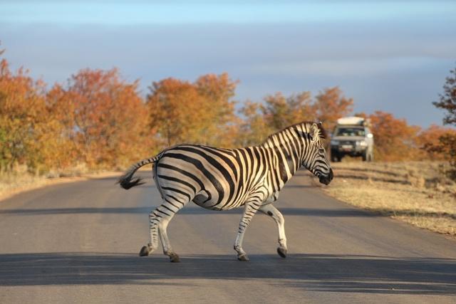 Conducir en Sudafrica: el mejor paso de cebra en Kruger